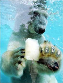 جفتري خرس قطبي تصاویر/ تلاش های یک خرس برای نجات