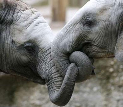 3dgirl.blogfa.com عکس لب گرفتن دوتا فیل