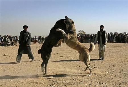 فروش سگ افغانستان - سگ افغان