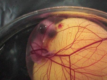 عکسهایی از سیر تکامل تخم مرغ تا کباب