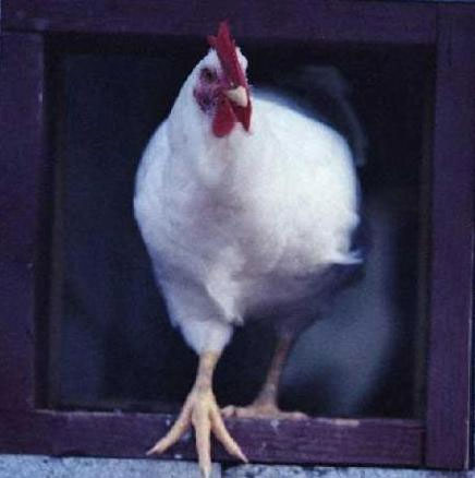 عکسهایی از سیر تکامل تخم مرغ تا کباب irannaz.com