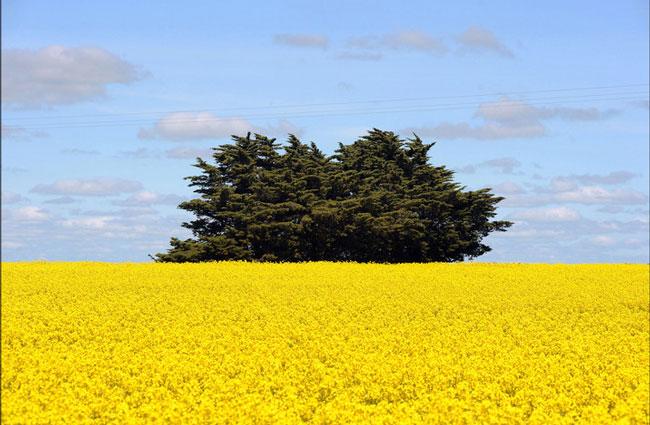 درخت سرو در کنار مزرعه کانولا