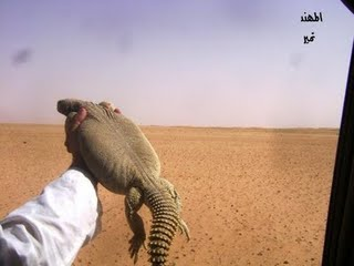 شکار و خوردن سوسمار در عربستان(گزارش تصویری)