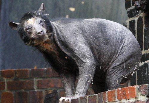 هجوم توریستها برای مشاهده خرسهای کچل در آلمان (+عکس)