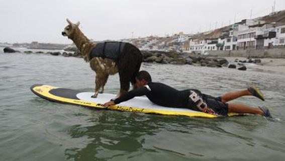 شتر موجسوار در پرو! + عکس