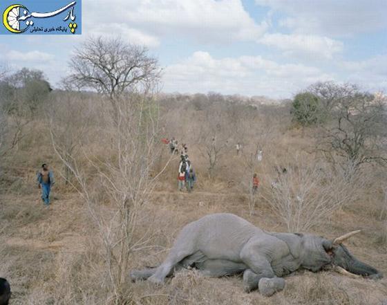 تصویری:چگونه یک فیل خورده می شود