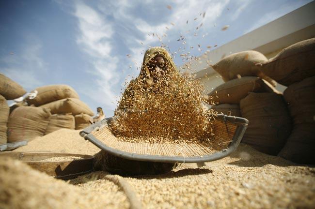 بوجاری برنج