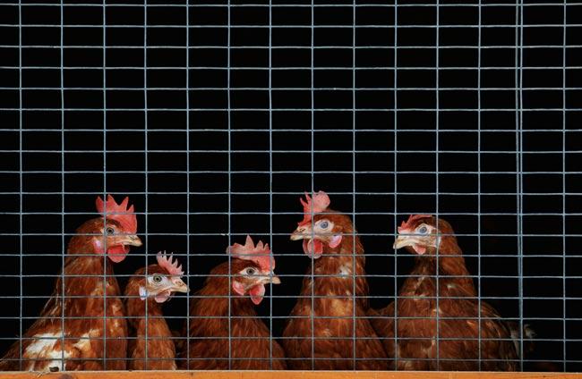 قرنطینه مرغداری ها در آلمان