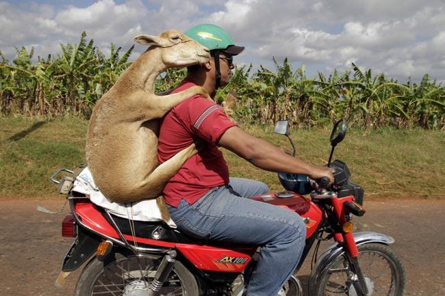 موتور سواری گوسفند