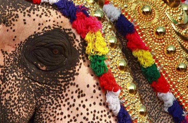فیل تزیین شده هندی