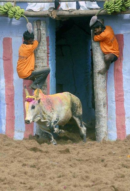 گاو بازی در  هند