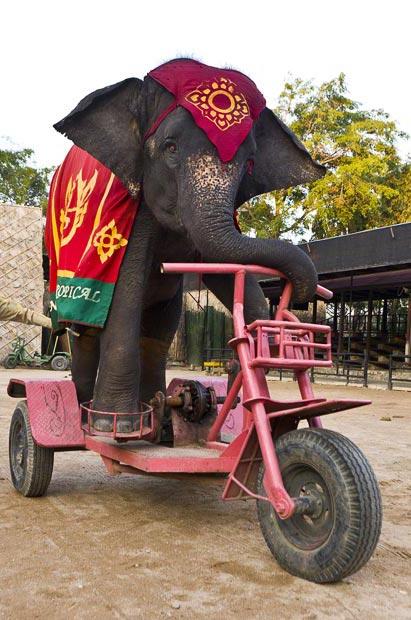 سه چرخه سواری یك فیل