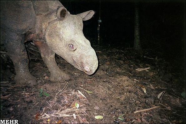 حیواناتی که در خطر انقراض قرار دارند،حيوانات نادر،جانوران درحال انقراض،كرگدن جاوه اي