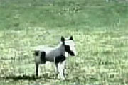کوچک ترین اسب جهان با 3 کیلو وزن + عکس