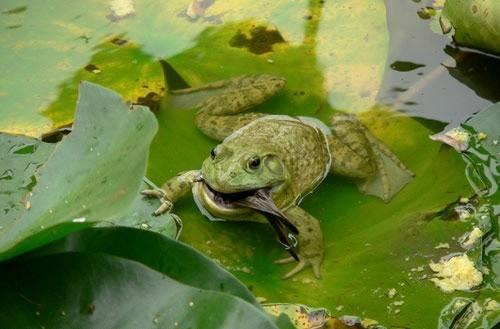 عکس شکار گنجشک توسط قورباغه