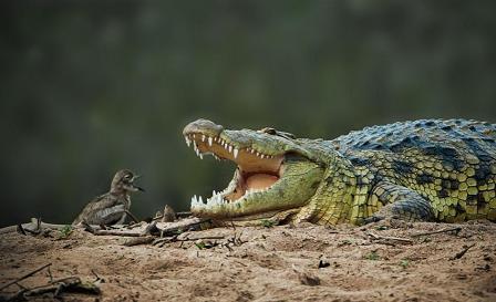 عکس حمله تمساح به جوجه و دفاع جوجه