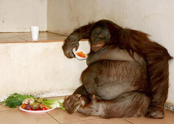 میمون آرانگوتان زشت