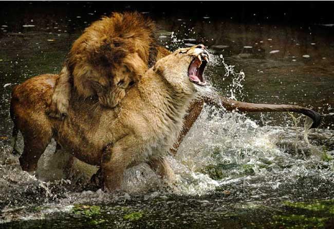 عکس, تصویر, حمله شیر نر به شیر ماده در باغ وحش مادرید