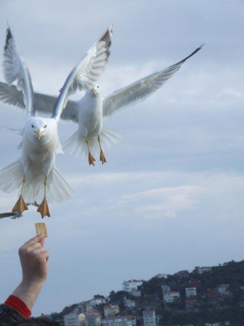 مرغان دریایی در ترکیه