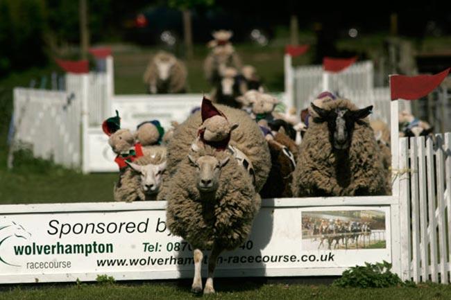 مسابقات گوسفندان