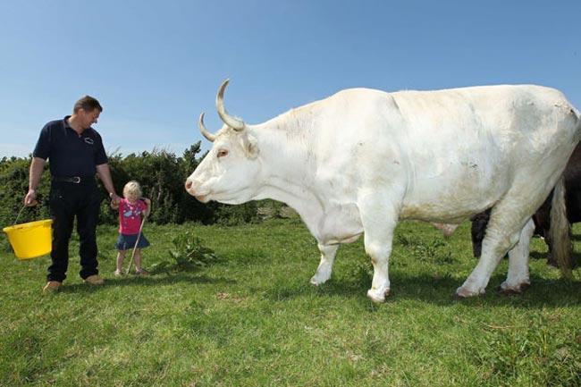 بزرگترین گاو بریتانیا