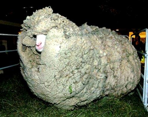 پشمالوترین گوسفند نیوزلند