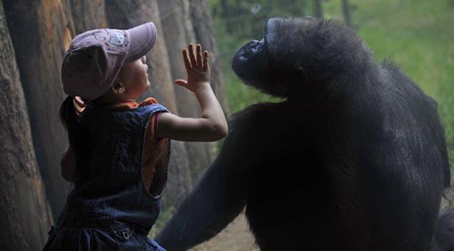 گوریل و دختر بچه