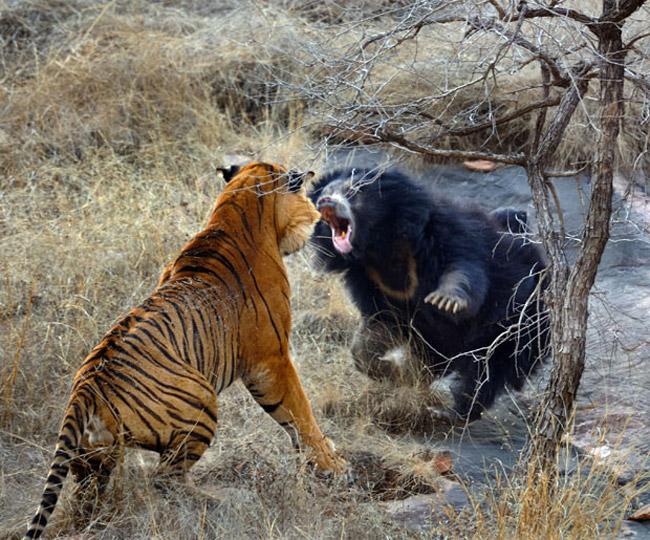 نزاع خرس با ببر