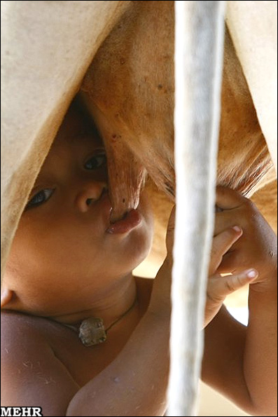 پسری که یک گاو جای مادرش را گرفته است!! + عکس