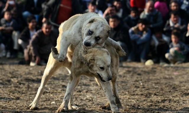 سگ ها در کابل