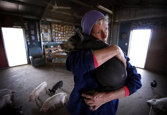عکس/ زندگی زنی با 25 خوک در خانه اش!