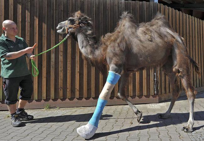 پای شکسته یک شتر