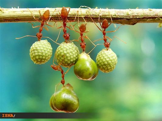 مورچههای قرمز