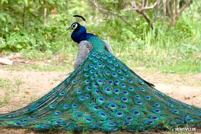 عکس طاووس ها