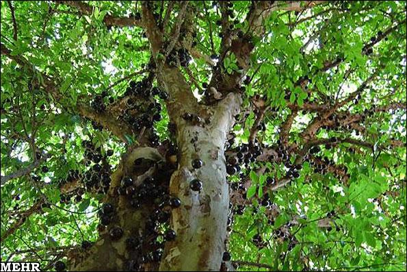 انگور برزیلی