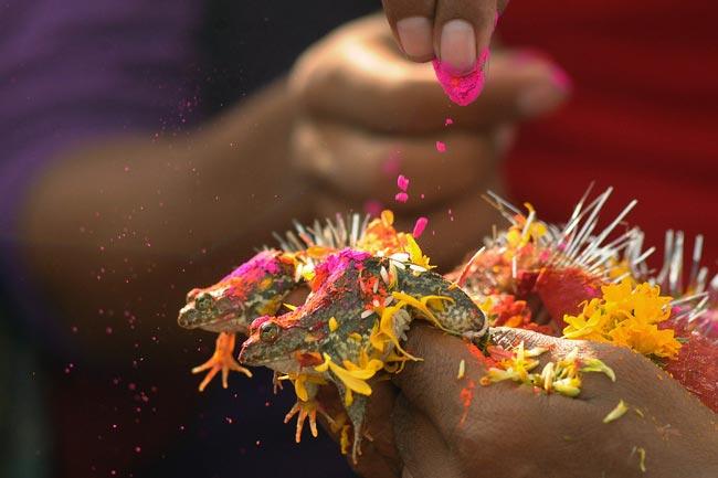 ازدواج دو قورباغه در هند