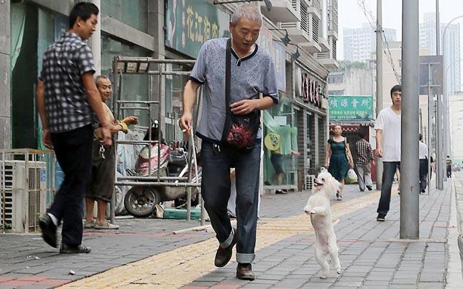 سگ چینی
