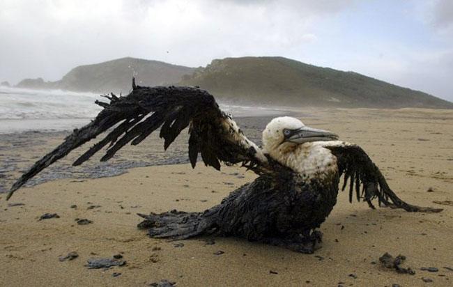 پرنده آلوده به نفت