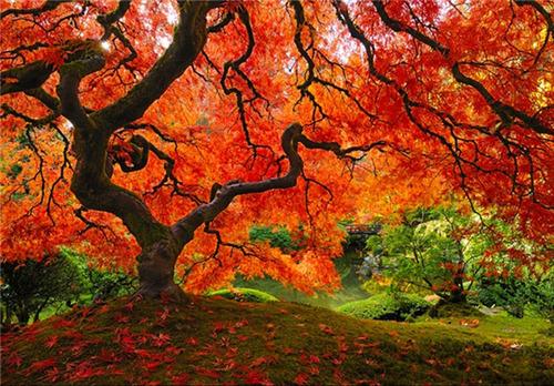 درخت افرا در پورتلند، اورگان
