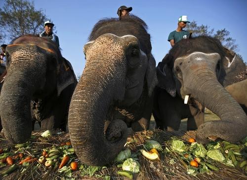 جشنواره فیل در نپال