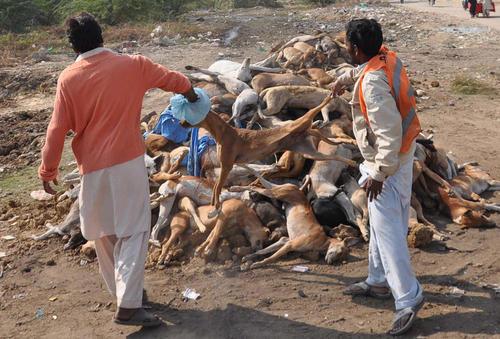 طرح کشتار سگ های ولگرد در کراچی پاکستان. سگ ها با سم مسموم شدند