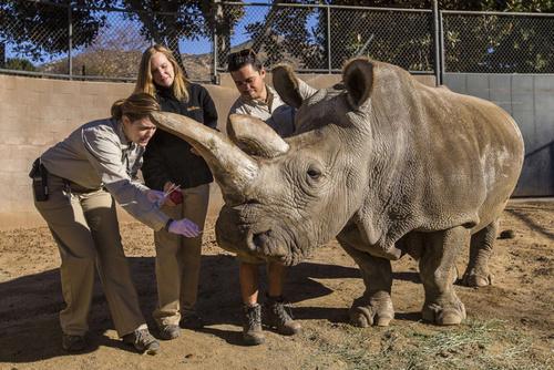 پاک کردن بینی کرگدن باغ وحش سان دیه گو آمریکا