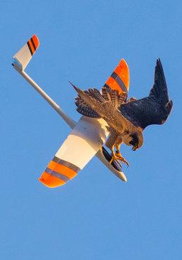 حمله یک شاهین در لس آنجلس به یک هواپیمای کوچک کنترل از راه دور