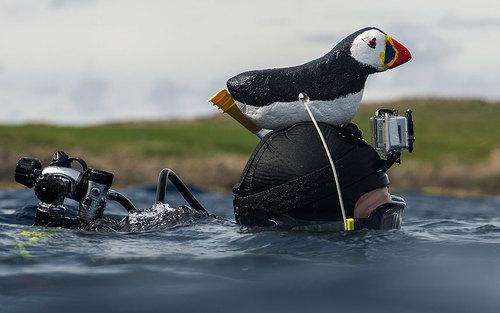 استتار عکاس برای نزدیک شدن مرغان دریایی در جزیره ای در شمال رونا - انگلیس