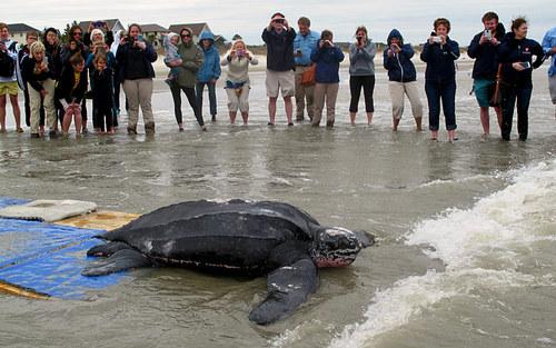 رها کردن لاک پشت در دریا (آمریکا)