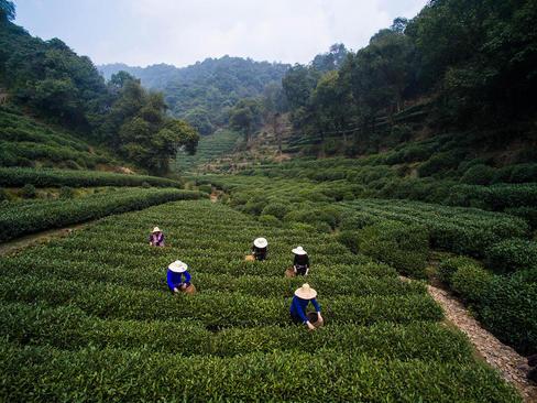 زمین کشت چای در هانگژو چین
