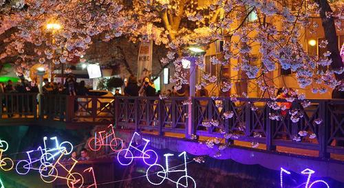 جشنواره شکوفه های گیلاس در کره جنوبی