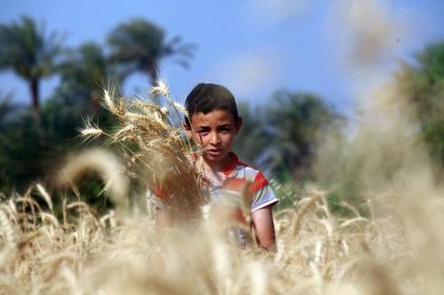 نوجوان مصری در حال کار در مزرعه گندم