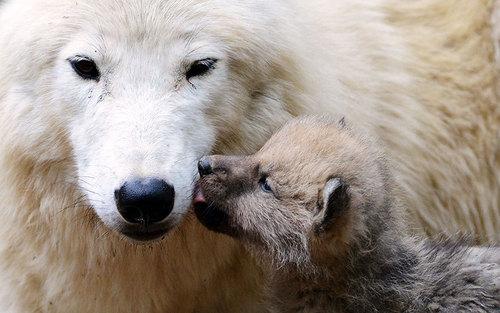 یک گرگ و توله گرگ در باغ وحشی در جمهوری چک