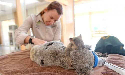 عمل جراحی یک کوآلا در باغ وحش کویینزلند استرالیا